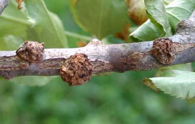 branch with galls