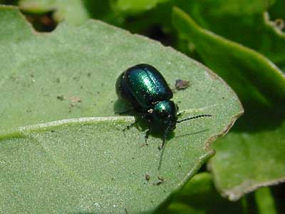 close-up of green dock beetle