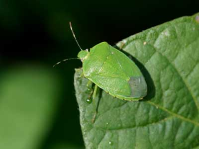 Stink Bugs | NC State Extension