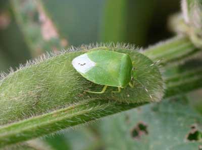 green stink bug on edamame