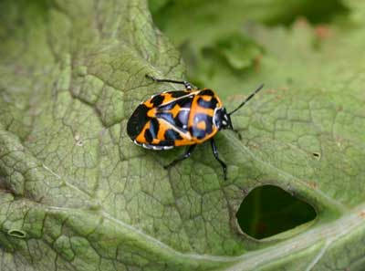 Harlequin bug on lettuce