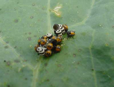 Harlequin bug egg cluster and hatching nymphs