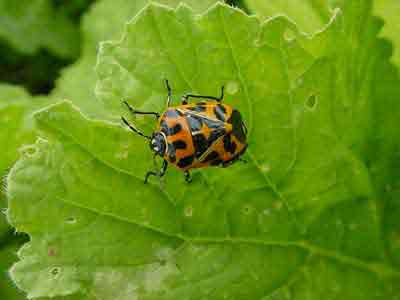Adult harlequin bug on greens