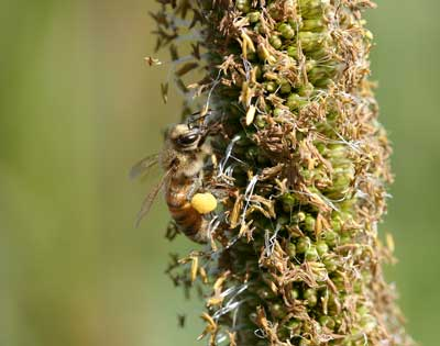 Honey bee on millet