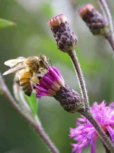 Honey bee on ironweed (Vernonia baldwinii)