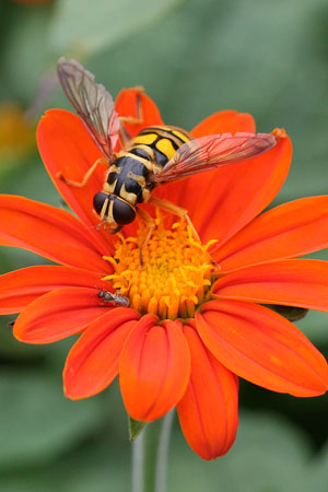 syrphid fly on Tithonia