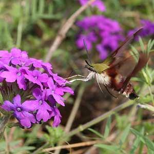 hummingbird moth on Verbena