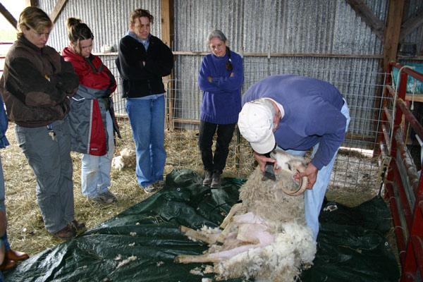 John Clouse demonstrates sheep shearing