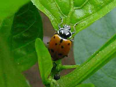 Convergent lady beetle (Hippodamia convergens) on pepper