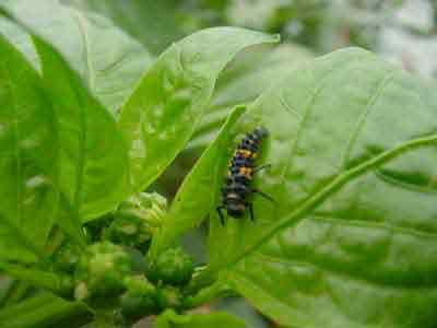 Predaceous lady beetle larvaon pepper