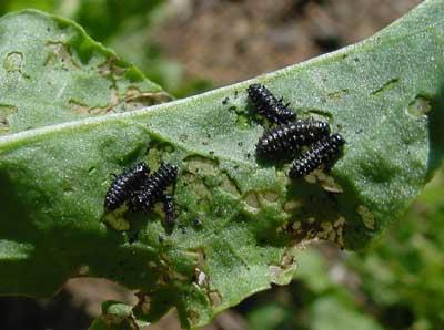 later instar larvae on sorrel