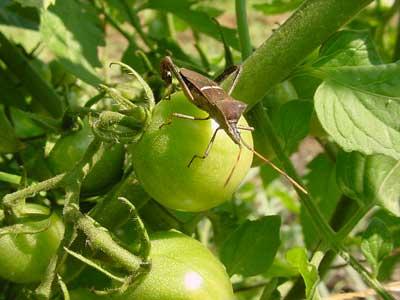 leaf-footed bug on tomato