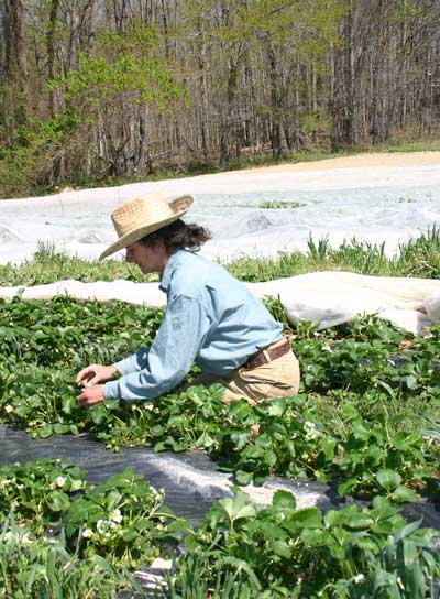 Leah Cook checks the strawberry crop