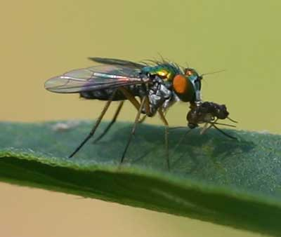 Long-legged fly (Dolichopodid) with prey on Asclepias