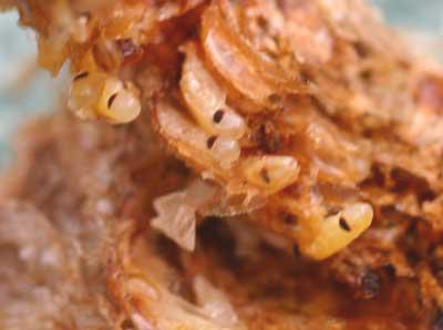 close-up of mantis eggs
