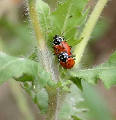 mating convergent lady beetles on weed