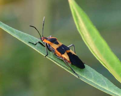 milkweed bug adult on Asclepias