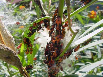 Milkweed bug adults and nymphs on Asclepias