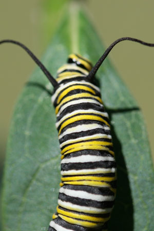 Monarch caterpillar on Asclepias