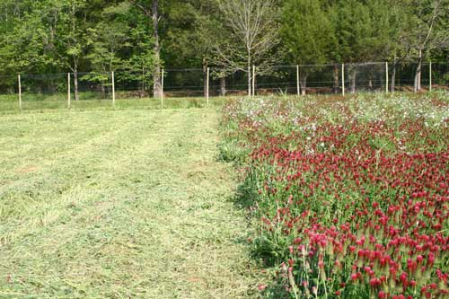 Mowed cover crop