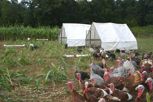 turkeys move towards mowed cover crop