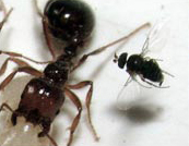 phorid fly and imported fire ant