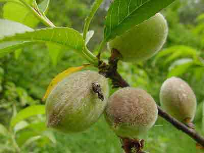 Plum curculio on peach