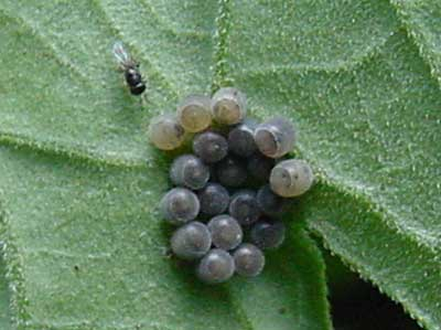 parasitized stink bug eggs with Scelionid wasp (parasitized eggs turn darker)
