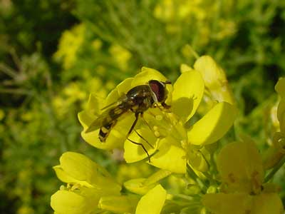 side view of syrphid fly on tatsoi