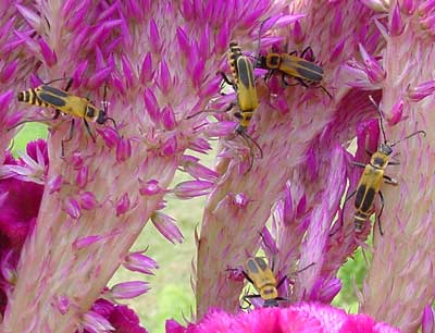 aggregation of soldier beetles on celosia