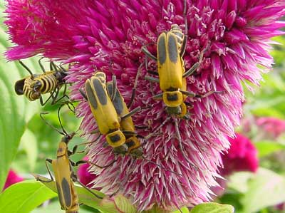 mating soldier beetles on celosia