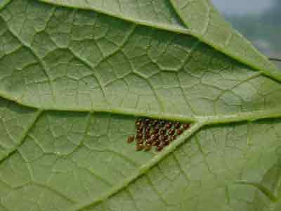 Squash bug eggs on underside of leaf