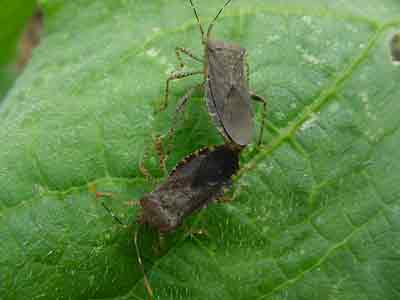 Squash bugs mating