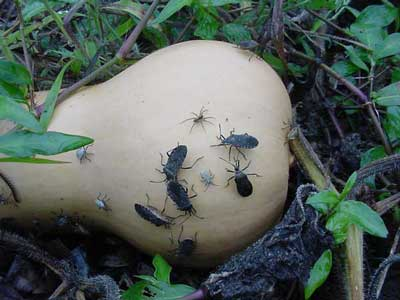 Squash bug adults and nymphs on winter squash