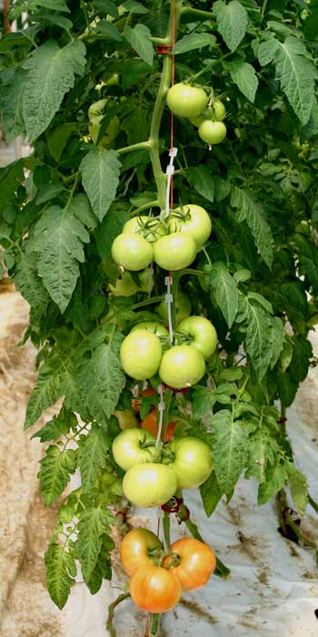 ripening tomato clusters on the vine