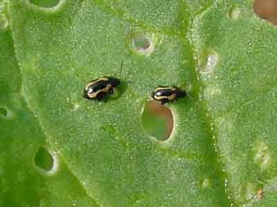 Striped flea beetles