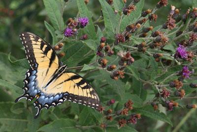 Swallowtail on Vernonia.