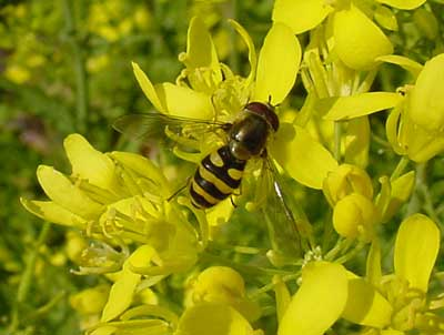 syrphid fly on flowering tatsoi