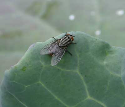 close-up of tachind fly on broccoli