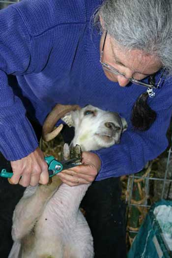 Teresa Fischer shows how to trim hooves.