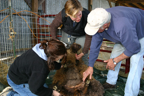 John helps with sheep shearing