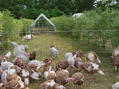 pastured turkeys at Peregrine Farm
