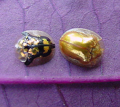spotted and golden tortoise beetles