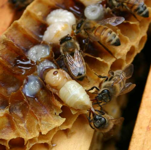 varroa mite on developing honey bee
