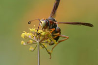 wasp on fennel