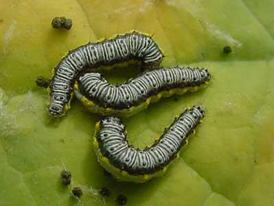 cross-striped cabbageworm on broccoli (note frass)