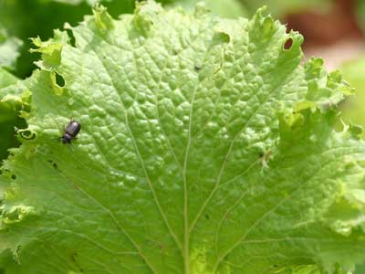 yellowmargined leaf beetle on mustard