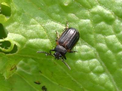 close-up of yellowmargined leaf beetle