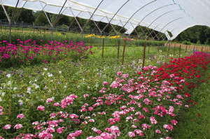 Cut flowers in Haygrove tunnels at Peregrine Farm