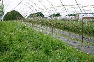 Spring cover crops in the Haygrove tunnel at Peregrine Farm.